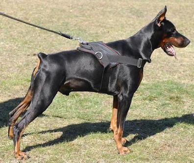 20130228163304-1315893147-249873803-1-fotos-de-compro-cachorro-doberman-macho.jpg