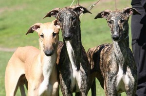 20130306203700-perros-raza-galgo-espanol-300x199.jpg