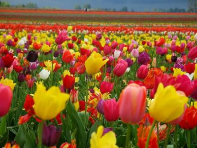 20130926120113-nature-wallpaper-tulips.jpg
