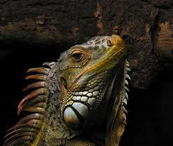 20131121155633-iguana.jpeg