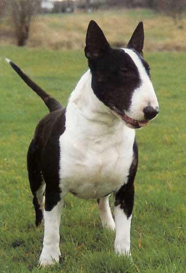 20130507223211-1319507046155-bull-terrier.jpg