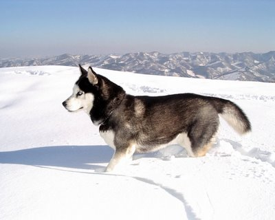 20140218164046-siberian-husky.jpg