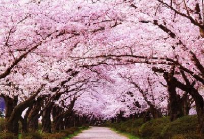 20151008212321-imagen-sakura.jpg