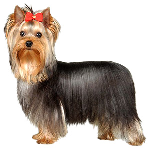 20151012141217-yorkshire-terrier-dog.jpg