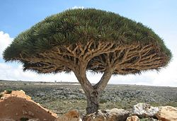 20170306212513-250px-socotra-dragon-tree.jpg